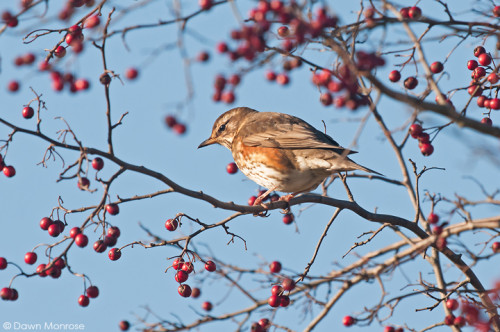 Redwing, Turdus iliacus, perched in hawthorn hedge, berries, Norfolk, Winter