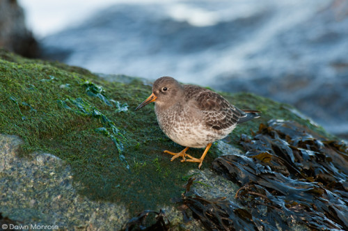 Purplesandpiper301214DM2658