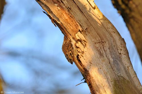 Treecreeper110114DM2959