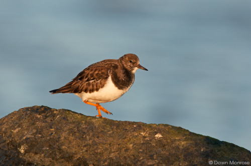 Turnstone, Arenaria interpres, perched on rock, Suffolk, Winter, December