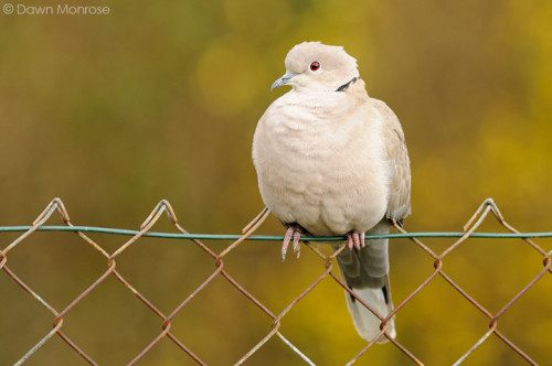 Collared dove, Streptopelia decaocto, perched on garden fence, Norfolk,