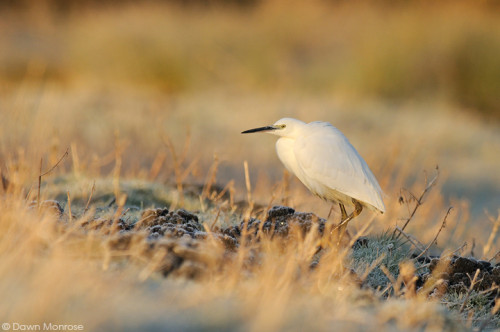 Little Egret, Egretta garzetta, in frost, Norfolk, Winter