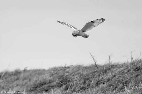 Short-eared owl, Asio flammeus, hunting, Suffolk. March
