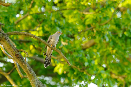 Cuckoo, Cuculus canorus, perched in oak tree, Fen, Norfolk, May, Spring