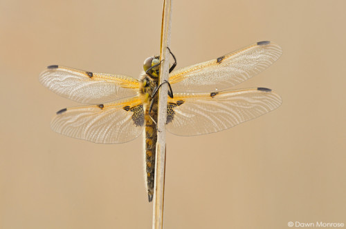 Four-spotted Chaser, Libellula quadrimaculata, on reed stem, covered in dew, Spring, Fen, Norfolk
