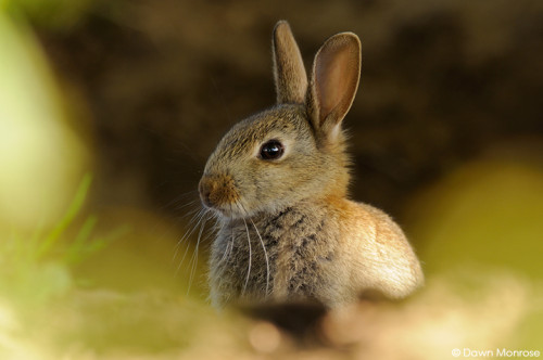 Rabbit, Oryctolagus cuniculus, young rabbit in undergrowth, Fen, Norfolk, May