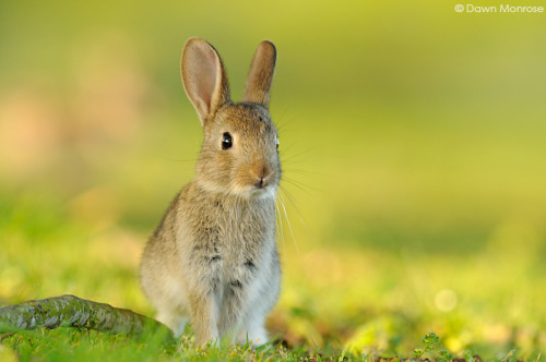 Rabbit, Oryctolagus cuniculus, young rabbit, alert, Fen, Norfolk, May