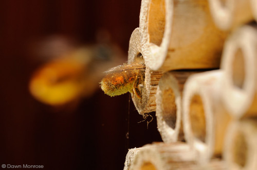 Red Mason bee, Osmia rufa, entering nest hole, with another in flight, bee nest box, May, Norfolk
