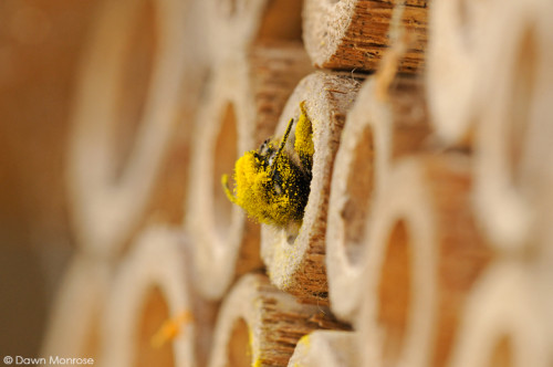 Red Mason bee, Osmia rufa, at entrance to nest hole, bee nest box, covered in pollen, May, Norfolk