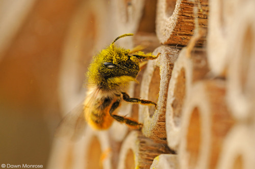 Red Mason bee, Osmia rufa, at entrance to nest hole, bee nest box, taking off, covered in pollen, May, Norfolk