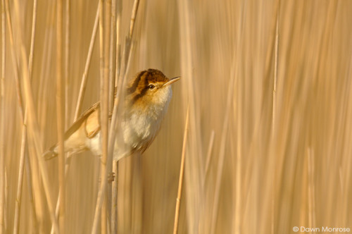 Reed Warbler, Acrocephalus scirpaceus, perched amoungst reeds, Fen, Norfolk, May, Spring