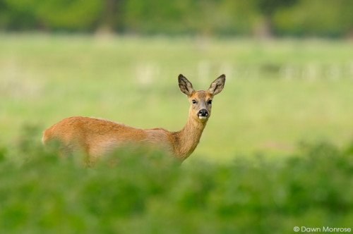 Roe deer, Capreolus capreolus, female, doe, in field, Norfolk, May, Spring