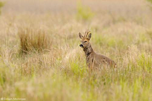 Roe deer, Capreolus capreolus, male, buck, early morning, Fen, Spring, May, Norfolk