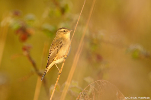 Sedge warbler, Acrocephalus schoenobaenus, perched on reed stem, Fen, Spring, May, Norfolk