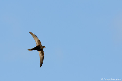 Swift, Apus apus, in flight, Norfolk, May