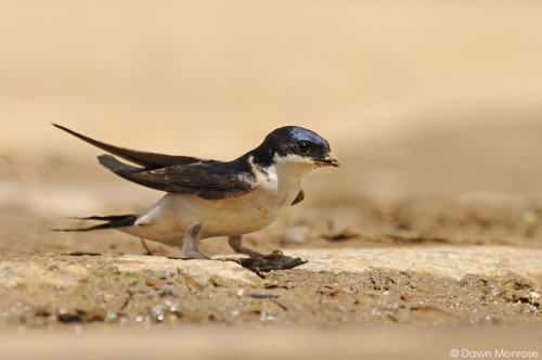 House Martin, Delichon urbica, perched on ground, collecting mud, puddle, farmyard, Norfolk, May