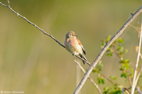Linnet, Carduelis cannabina, perched on twig, fen, Norfolk, May