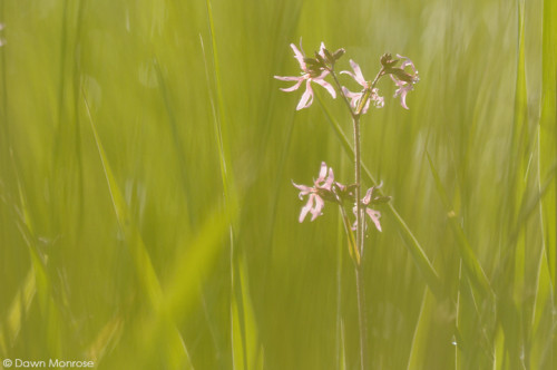 Ragged Robin, Lychnis flos-cuculi, amoungst reeds, Norfolk, Fen, May