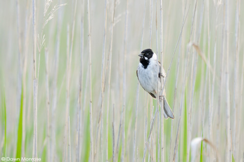 Reed bunting, Emberiza schoeniclus, Male perched in reeds, Norfolk, Fen, May