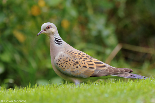 Turtle Dove, Streptopelia turtur, garden lawn, August, Summer, Norfolk