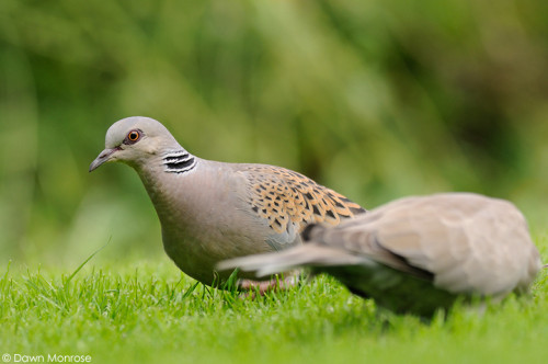 TurtleDove050915DM9252