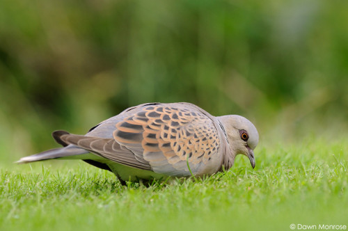TurtleDove050915DM9285
