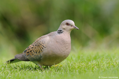 TurtleDove050915DM9293