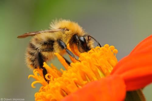 September - Common Carder Bee