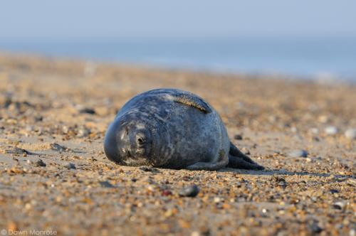 December - Grey Seal