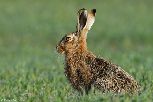 Brown Hare, Norfolk