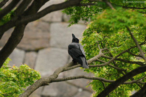 Large-billed Crow, Jungle Crow, Corvus macrorhynchos, perched in maple tree, Tokyo Imperial Palace, Japan
