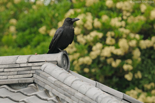 Large-billed Crow, Jungle Crow, Corvus macrorhynchos, perched on top of buildling, Tokyo Imperial Palace, Japan