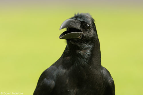 Large-billed Crow, Jungle Crow, Corvus macrorhynchos, close up, Tokyo Imperial Palace, Japan