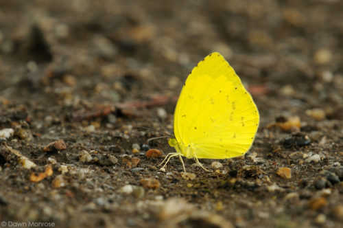 Common Grass Yellow, Eurema hecabe, butterfly, on ground, Nara Park, Japan