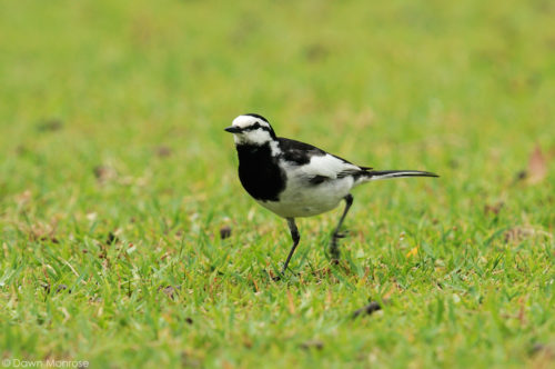 Black-Backed Wagtail, Japanese Pied Wagtail, Motacilla alba lugens, looking for insects, Nara Park Japan