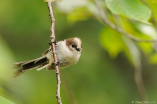 Long-tailed tit, Aegithalos caudatus, juvenile, in cherry tree, Kyoto Imperial Palace Park, Japan