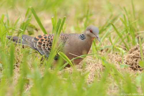Oriental Turtle Dove, Streptopelia orientalis, feeding in long grass, Kyoto Imperial Palace Park, Kyoto, Japan