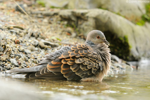 Oriental Turtle Dove, Streptopelia orientalis, bathing in stream, Kyoto Imperial Palace Park, Kyoto, Japan