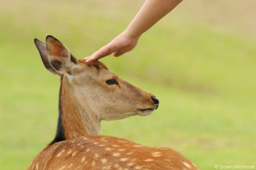 Sika deer, Cervus nippon, Japanese deer, Spotted deer, deer being petted, Nara Park, Japan