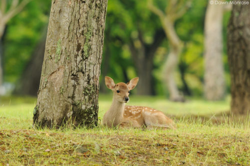 Sika deer, Cervus nippon, Japanese deer, Spotted deer, fawn resting under tree, Nara Park, Japan