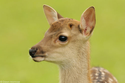 Sika deer, Cervus nippon, Japanese deer, Spotted deer, close up of fawn, Nara Park, Japan