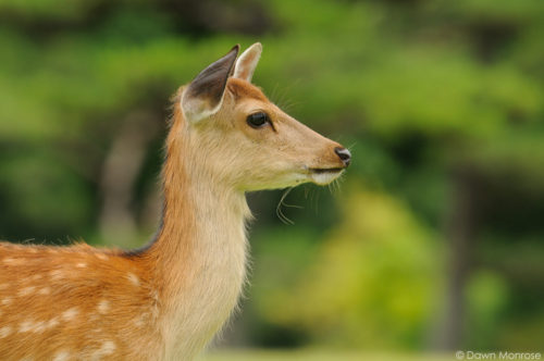 Sika deer, Cervus nippon, Japanese deer, Spotted deer, close up of young female, Nara Park, Japan