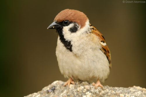 Tree Sparrow, Passer montanus, perched on a rock, Kyoto Imperial Palace Park, Kyoto, Japan