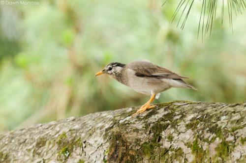 White-cheeked Starling, Sturnus cineraceus, juvenile perched on pine tree, Kyoto Imperial Palace Park, Kyoto, Japan