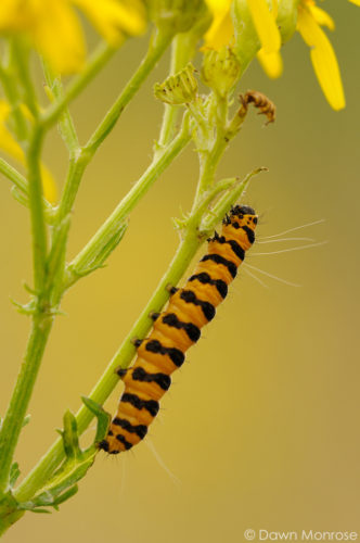 Cinnabar moth caterpillar, Tyria jacobaeae, feeding on Ragwort, Norfolk, July, Summer