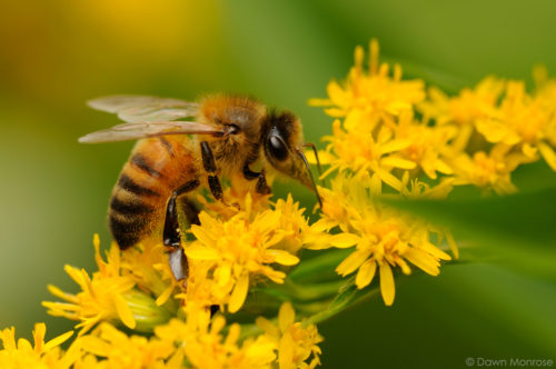 Honey bee, Apis mellifera, feeding on Golden Rod, garden, Norfolk, July, Summer