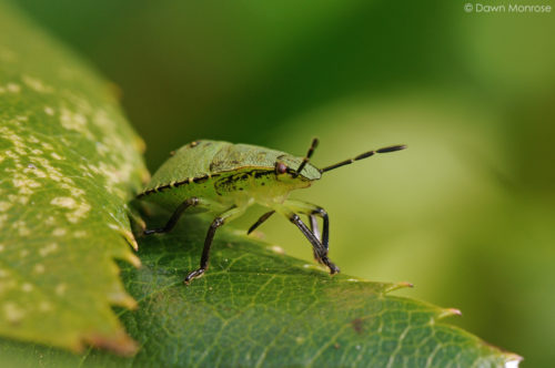 Green Shield Bug, Palomena prasina, young, on rose leaf, garden, Autumn, Norfolk