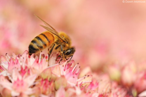 Honey bee, Apis mellifera, feeding on sedum, Norfolk, August, UK