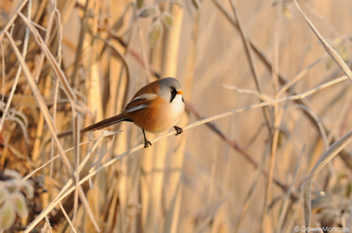 BeardedTit220117DM50412