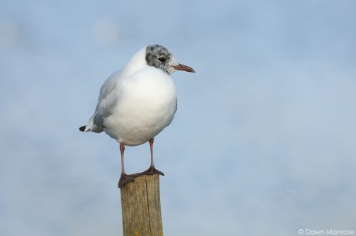 Black-headed gull Chroicocephalus ridibundus, perched on wooden post Bushy Park, London